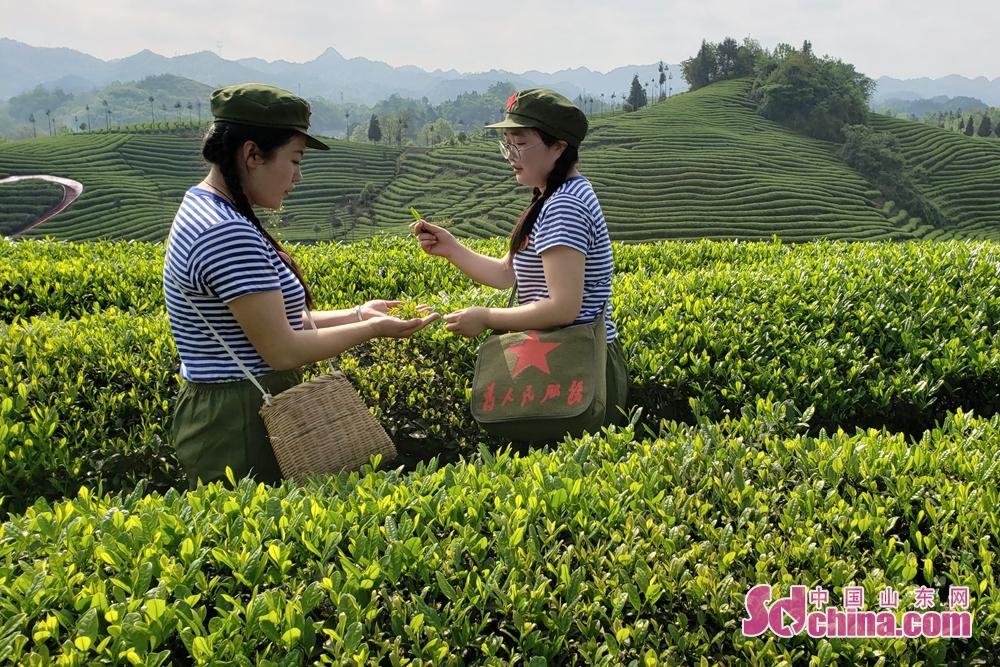<br/>  据统计,从1975年初到1979年底,先后有230多名知青来到凤冈县何坝镇水河茶场,接受&ldquo;贫下中农&rdquo;再教育。他们开荒耕地、挖土种茶、茶园欢歌,在这片黄土地,留下了当年洋溢着青春朝气的知识青年、姑娘小伙们的汗水与泪珠。<br/>