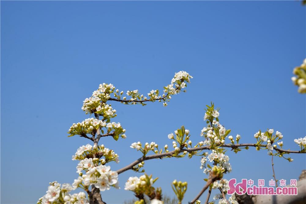 素有黄金梨之乡的东阿县刘集镇,万亩梨花盛开,如朵朵白云散落在翠绿的麦田里,好不美丽。梨农们正在忙着给梨花授粉,田野里到处一派繁忙景象。<br/>