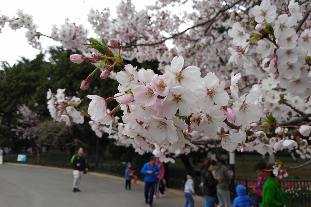 青岛中山公园660米樱花大道繁花似锦 最佳观赏期就在这几天!