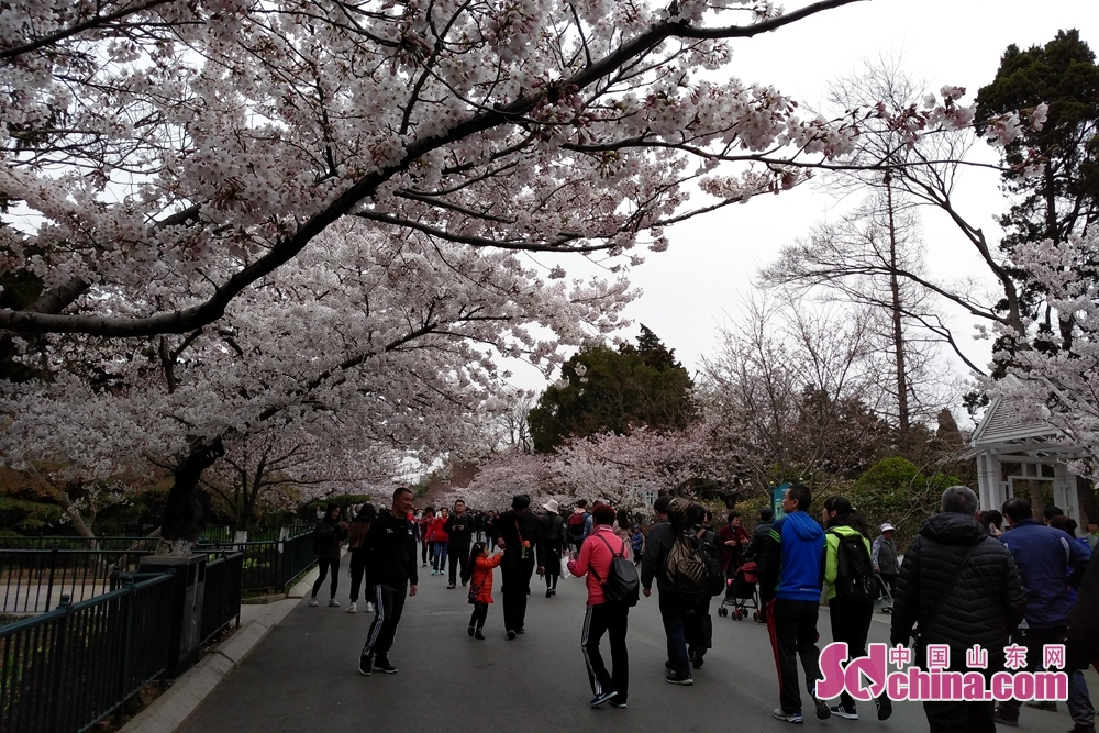 Tourists enjoy the cherry blossoms in Zhongshan Park in Qingdao, east China's Shandong Province on April 9, 2019. Cherry blossoms here are in their prime for viewing.<br/>