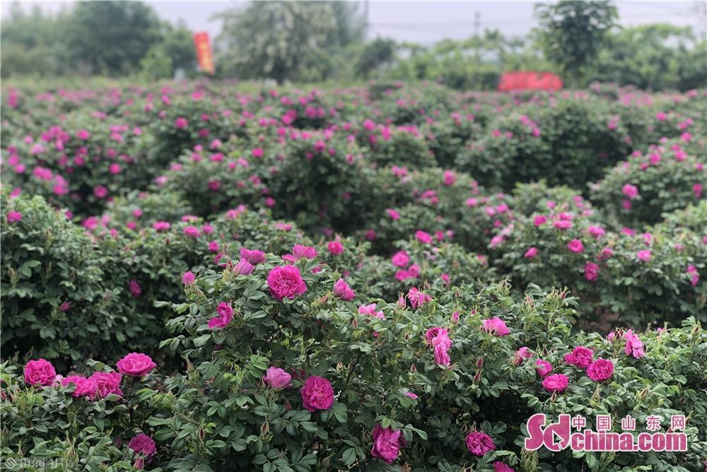<br/>  11日上午,以&ldquo;玫瑰情缘 追梦中国&rdquo;为主题的2019年(第四届)百士通玫瑰文化旅游节开幕。玫瑰花文化旅游节始于2016年,首年就接待了2000余游客。如今已是第四届玫瑰花节,玫瑰园里的可游玩内容也越来越多,百年枣树、百鸟园、玫瑰花海、孔雀园、情系一生、亲子园、爱情长廊以及透明生产车间均对外开放,活动现场还将进行玫瑰花认养活动、玫瑰食品DIY、《我爱你中国》快闪等活动。<br/>