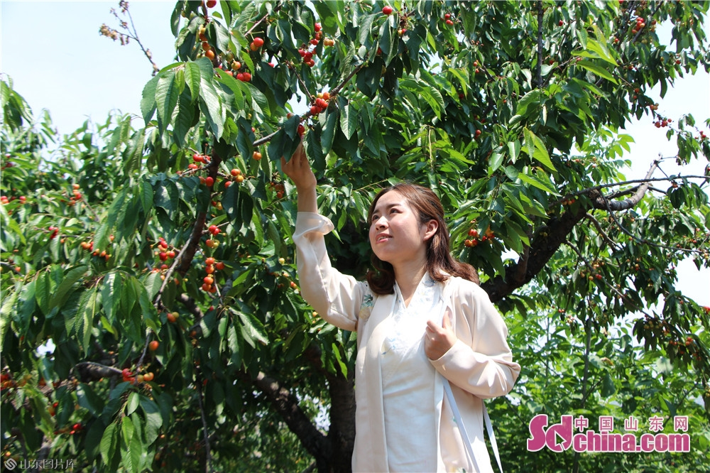<br/>  樱桃红了,农家乐了。5月11日,邹城市张庄镇第八届樱桃采摘节暨第二届张庄模范颁奖仪式在张庄镇大沟村举行。