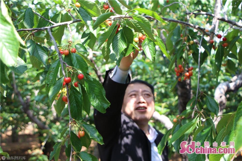 サクランボが成熟になり、30万本のサクランボの木は綺麗な風景になる。<br/>