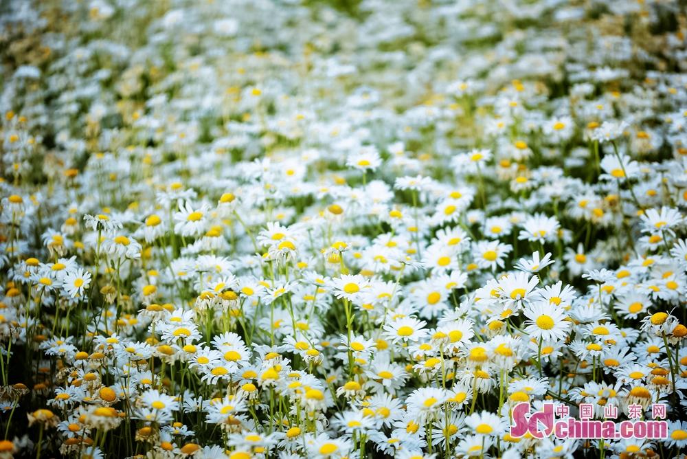 <br/>  白晶菊,百花争艳里,它如世外之人出尘脱俗,给夏天带来一抹清凉。<br/>