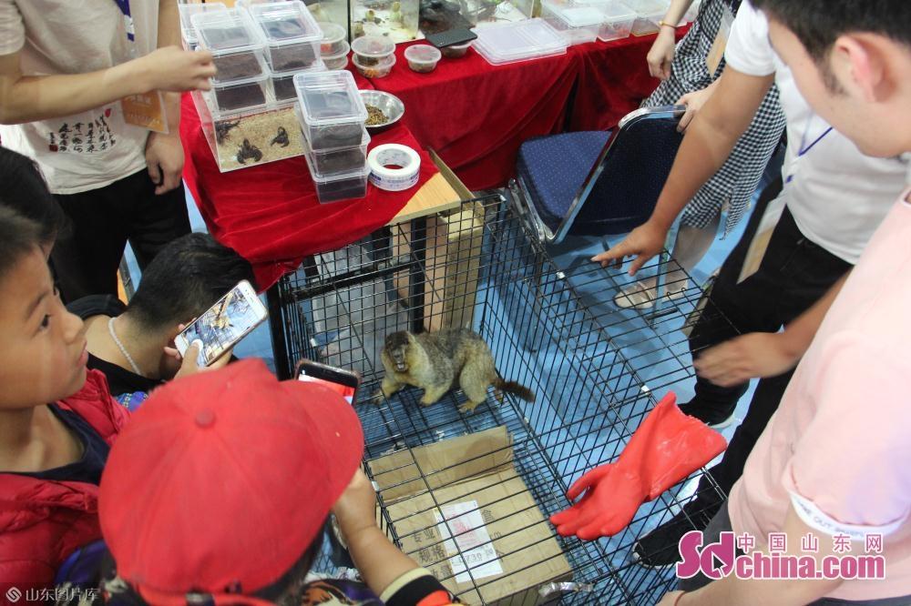 一宠物店主正要把一只成年土拨鼠抓进箱子。<br/>