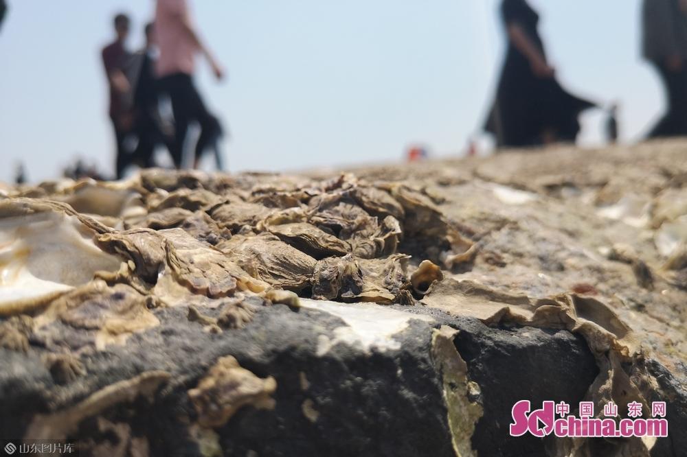 海水退潮后露出了布满贝壳的礁石。