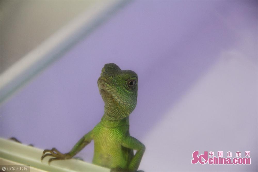 爬行展区的绿蜥蜴。<br/>