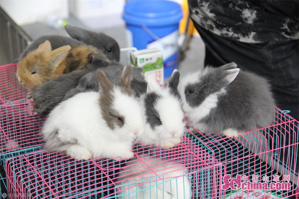 几只待售的宠物兔。<br/>