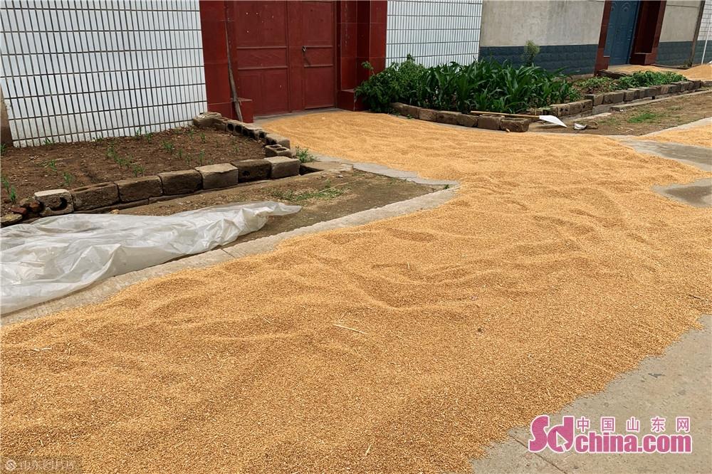 <br/>  6月9日,在山东临沂市临沭县,农民在自家门前晾晒的小麦。夏收时节,农民抓住天气晴好的有利时机抢收小麦、播种花生,到处是一片繁忙的丰收景象。