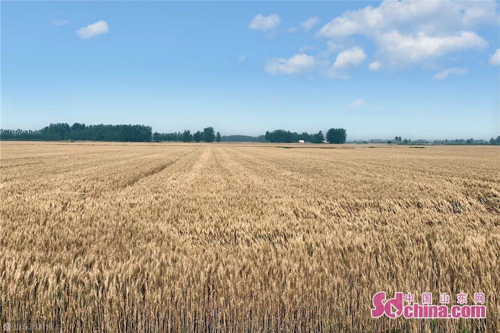 <br/>  6月9日,在山东临沂市临沭县,成熟的小麦待收。夏收时节,农民抓住天气晴好的有利时机抢收小麦、播种花生,到处是一片繁忙的丰收景象。<br/>
