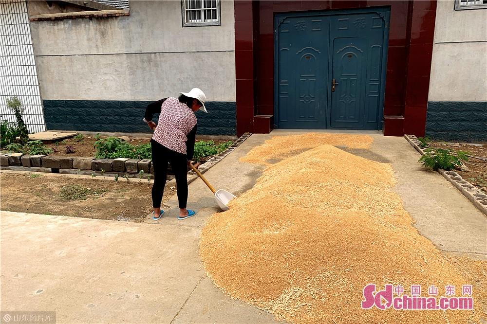 <br/>  6月9日,在山东临沂市临沭县,农民在自家门前晾晒刚刚收获的小麦。夏收时节,农民抓住天气晴好的有利时机抢收小麦、播种花生,到处是一片繁忙的丰收景象。<br/>
