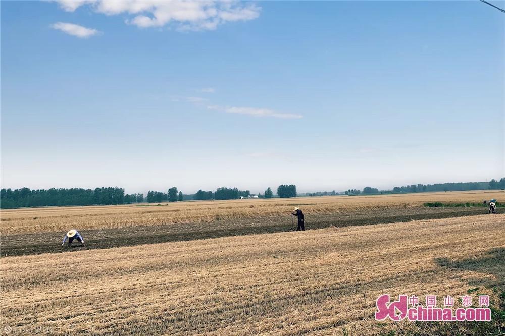 6월9일 산동 임기시에 농민들이 땅콩 심기를 바쁘고 있다. 여름 수확하는 계절에 농민들이 좋은 날을 잡고 빨른 밀을 수확하고 땅콩을 심고 있다. 여기저기 모든 바쁜 경상이다.<br/>