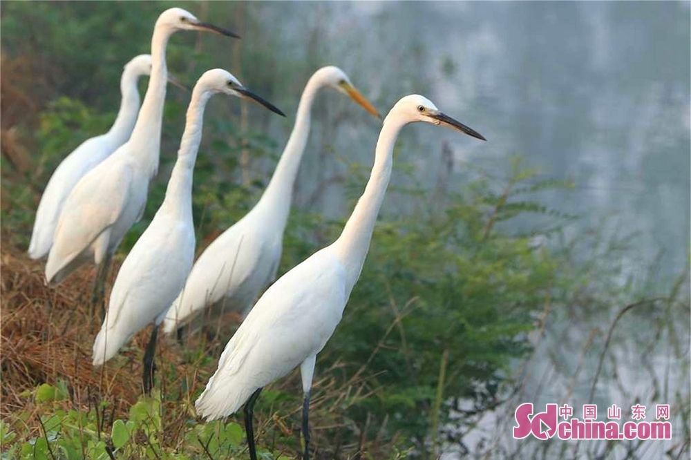 Egrets rest on the bank of Cailian Lake in Matou Town of Tancheng County of Linyi, east China&rsquo;s Shandong Province.<br/>
