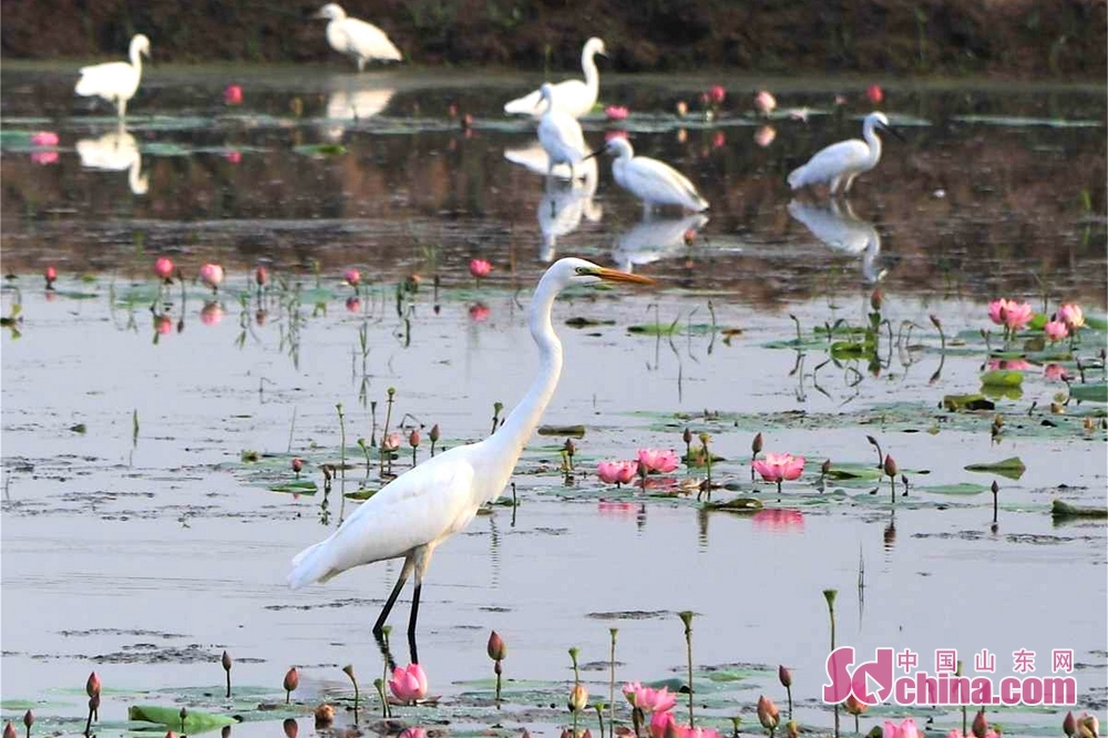 Egrets rest in the lotus plantation area with 10,000 mu of lotus in Matou Town of Tancheng County of Linyi, east China&rsquo;s Shandong Province.<br/>