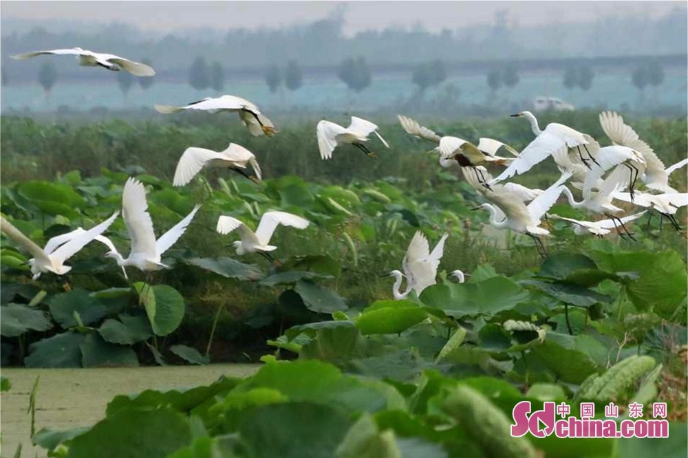 Egrets fly over the lotus plantation area of Cailian Lake in Matou Town of Tancheng County of Linyi, east China's Shandong Province.