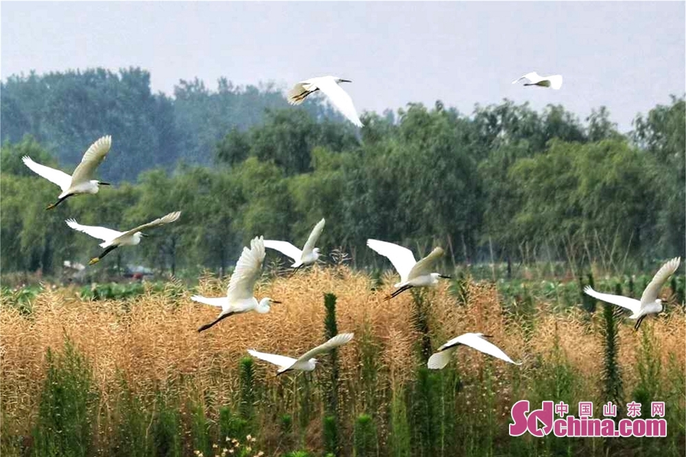 Egrets fly over the lotus plantation area of Cailian Lake in Matou Town of Tancheng County of Linyi, east China&rsquo;s Shandong Province.<br/>