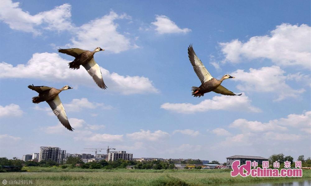 数十种鸟类就开始在文亭湖中心鸟岛周围集聚栖息