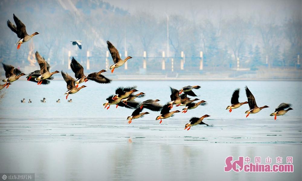 目前,成武县文亭湖及东鱼河国家级湿地公园内有鸟类114种,占动物种类的72%