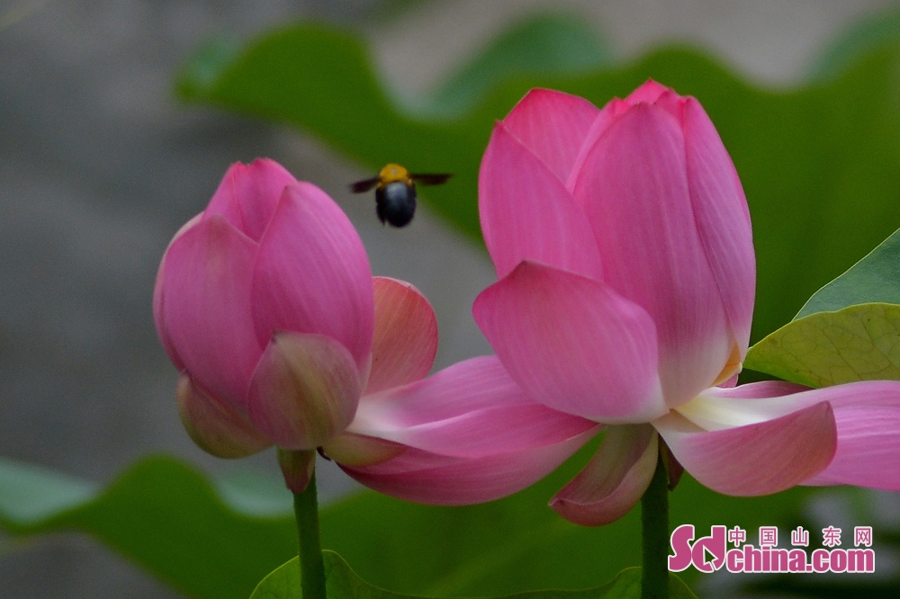 Photo taken on July 10, 2019 shows lotus in bud in Qingdao, east China's Shandong Province.