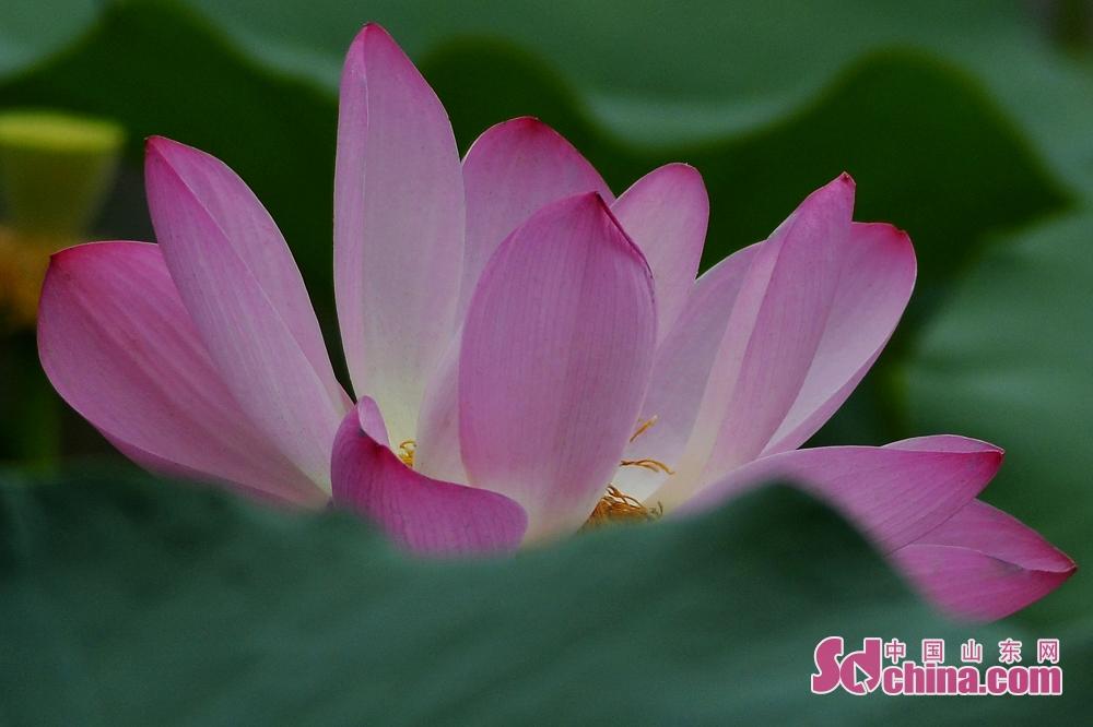 盛夏になると、青島市城陽区国学公園でのハスの花が咲いている。<br/>