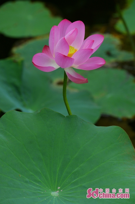 Photo taken on July 10, 2019 shows lotus in full bloom in Qingdao, east China&rsquo;s Shandong Province.<br/>