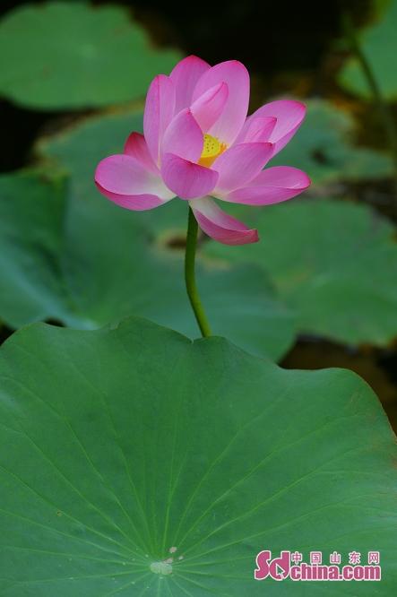 <br/>  荷花是水生植物,性喜相对稳定的平静浅水、湖沼、泽地、池塘,是其适生地。<br/>