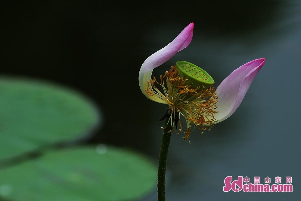 咲くハスの花がよい香りを漂わせ、夏に彩りを添えた。<br/>