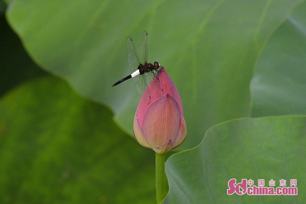 Photo taken on July 10, 2019 shows lotus in bud in Qingdao, east China&rsquo;s Shandong Province.<br/>