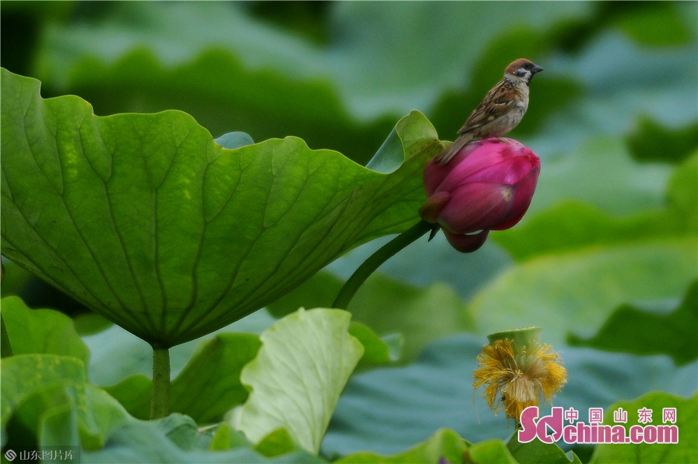 A bird stands on the bud of a lotus.<br/>