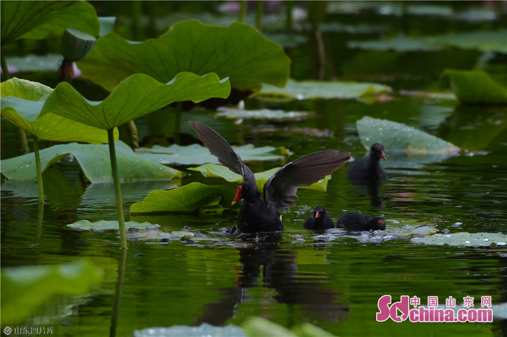 Moorhens play in the lotus pond in Licun village, Licang district of Qingdao.<br/>