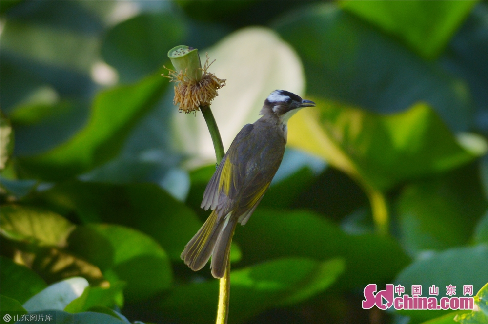 A bird stands on the seedpod of a lotus.