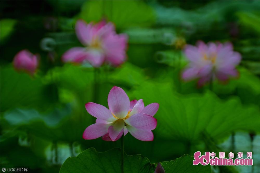 <br/>  2019年7月10日,这是在青岛市李沧区李村河内拍摄的雨中荷花。<br/>