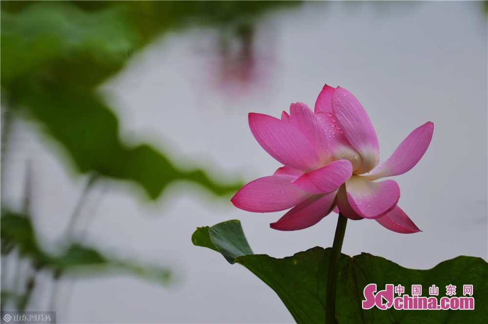 Lotus blossoms are in full bloom in Licun village, Licang district of Qingdao. Lotus blossoms in rain grace the village and city.<br/>