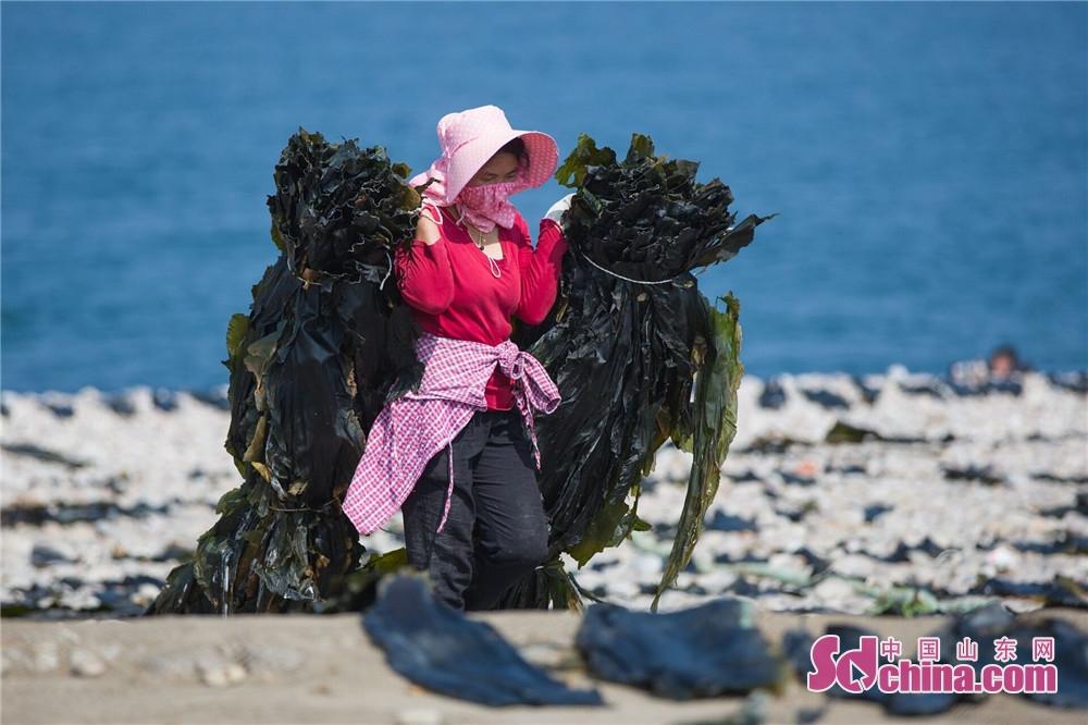 <br/>  大钦岛主要依靠渔业捕捞和海产品养殖业,这里的海带晾晒场面非常宏伟,全岛只要稍微平整的地方,都晒上了海带;几乎所有村民都在会忙着收海带、晾晒海带。6到8月份正是海带收获最壮观时节,届时将能看到一整个海滩上全部晾满了海带的场景。<br/>