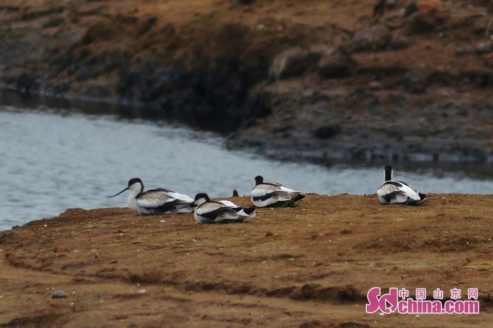 <br/>  栖息在青岛城阳区胶州湾河流入海口湿地的反嘴鹬幼鸟。<br/>