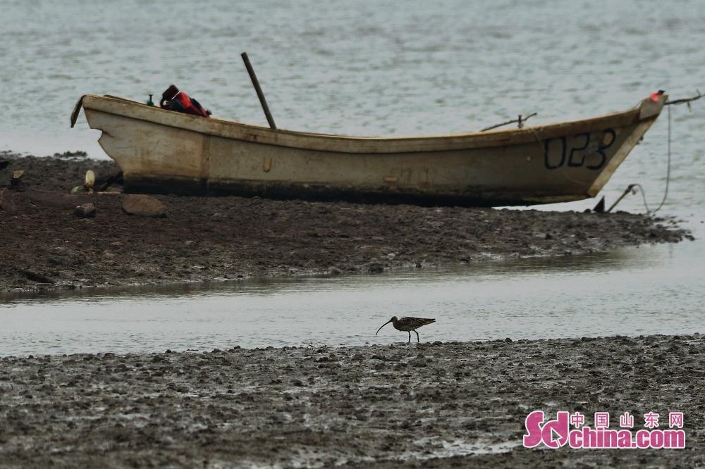 <br/>  一只大杓鹬在青岛城阳区胶州湾河流入海口湿地觅食。
