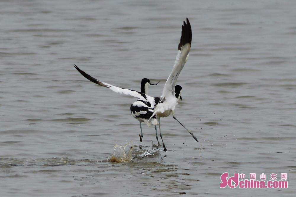 <br/>  反嘴鹬在青岛城阳区胶州湾河流入海口湿地起舞嬉戏。<br/>