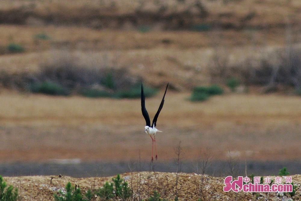 <br/>  一只长脚鹬在青岛城阳区胶州湾河流入海口湿地觅食。<br/>