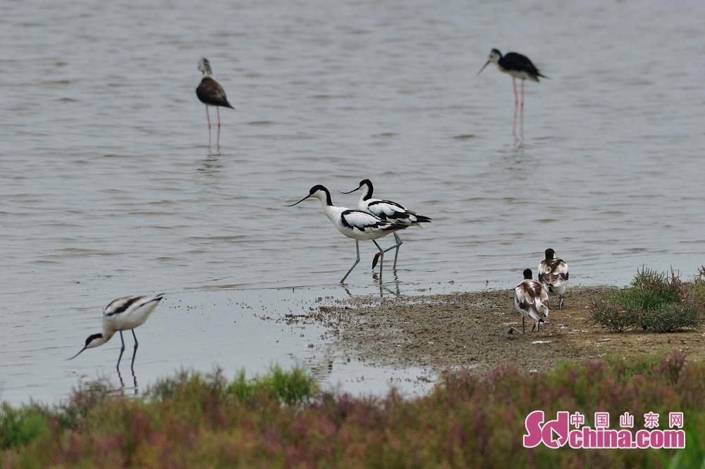 <br/>  反嘴鹬带着幼鸟在青岛城阳区胶州湾河流入海口湿地觅食。<br/>