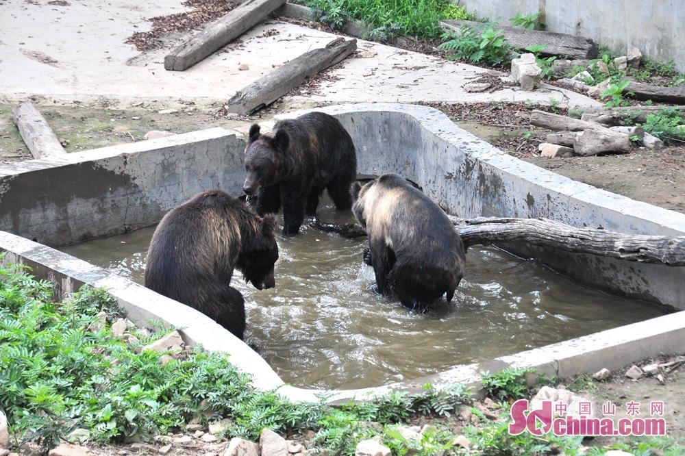 <br/>  随着气温逐日升高,青岛已进入桑拿模式,青岛森林野生动物世界启动了动物防暑降温措施,动物管理部结合动物习性采取24小时恒温空调、冰块降温、自动喷雾系统、模拟户外水池、高水分水果、青饲料降温等数十项降温和饮食措施。图为熊在水池嬉戏。
