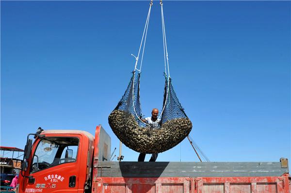 山东青岛:蛎苗养殖 致富渔村