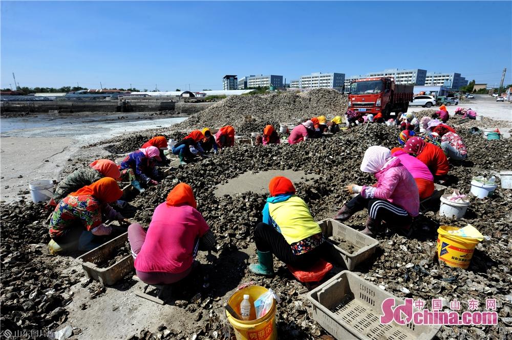 <br/>  9月18日,渔民在青岛市红岛西大洋码头进行蛎苗筛选作业。