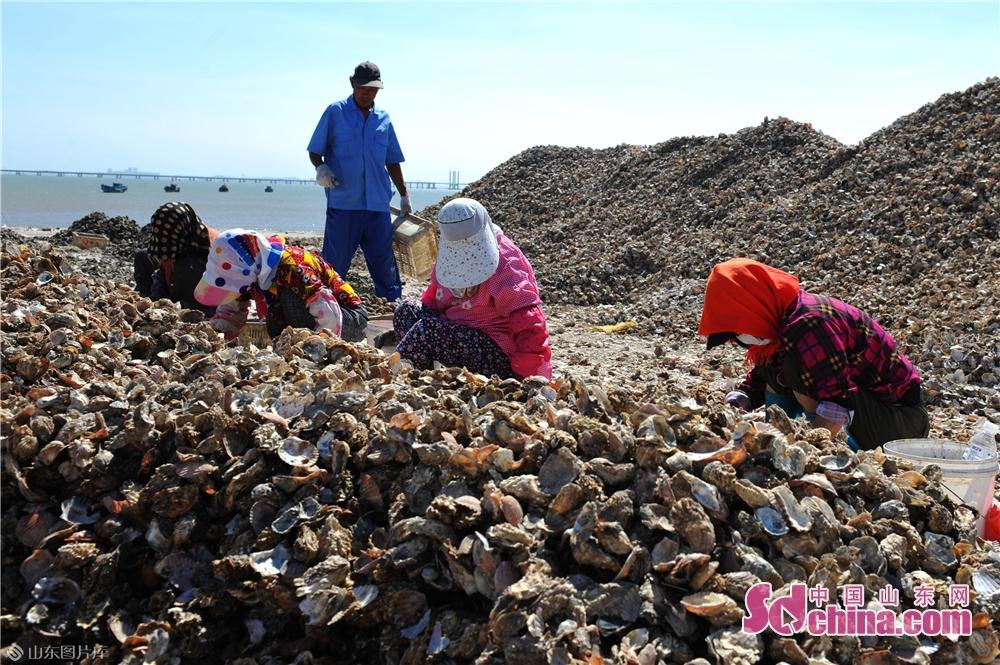 <br/>  9月18日,渔民在青岛市红岛西大洋码头进行蛎苗筛选作业。<br/>