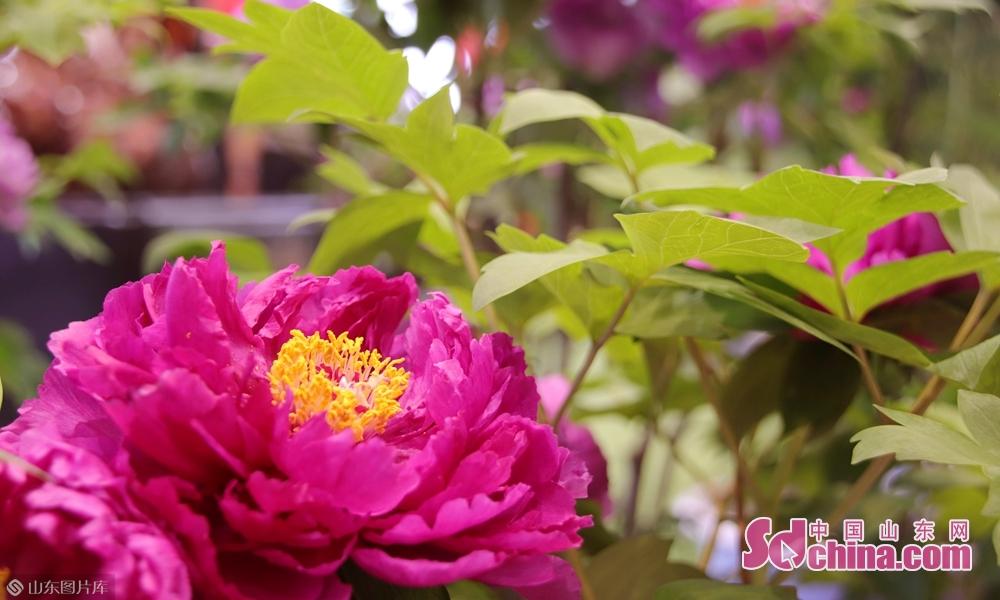 9月19日,菏泽牡丹盛开在第十六届林产品交易会,芳香怡人。