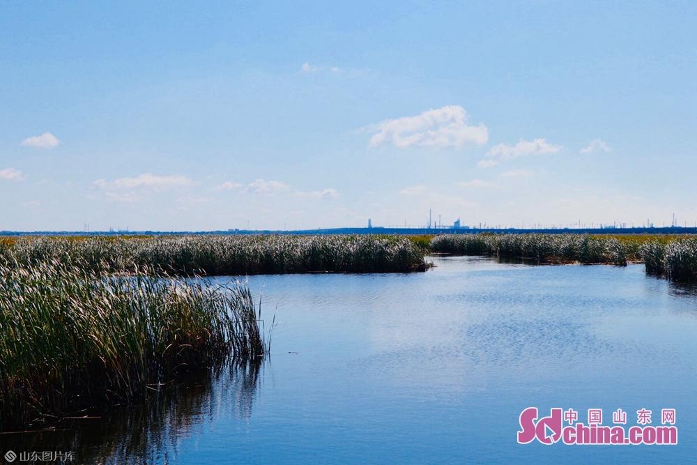 <br/>   远望湿地尽头还能看到工业设备,近处龙凤湿地里芦苇丛中却一片悠闲安适的鸟鸣。龙凤湿地自然保护区处于城区之中,对调节区域气候、减洪防涝、调节雨水径流、降解污染物、美化城区环境,起到了不可替代的作用。<br/>