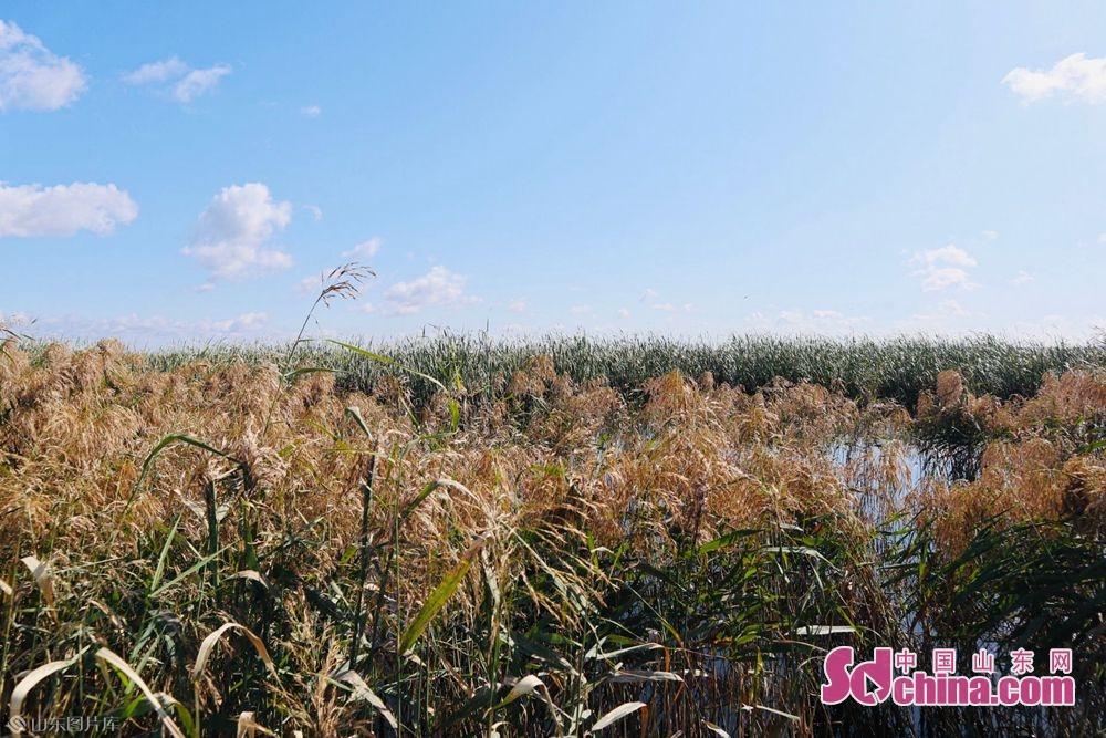 <br/>   湿地内植物种类丰富,可划分为草甸、沼泽和水生植被 3个植被型,兼有药用植物、纤维植物、饲用植物等植物类群。包括芦苇、狭叶香蒲、狭叶黑三棱、蒲公英、小叶樟等。<br/>