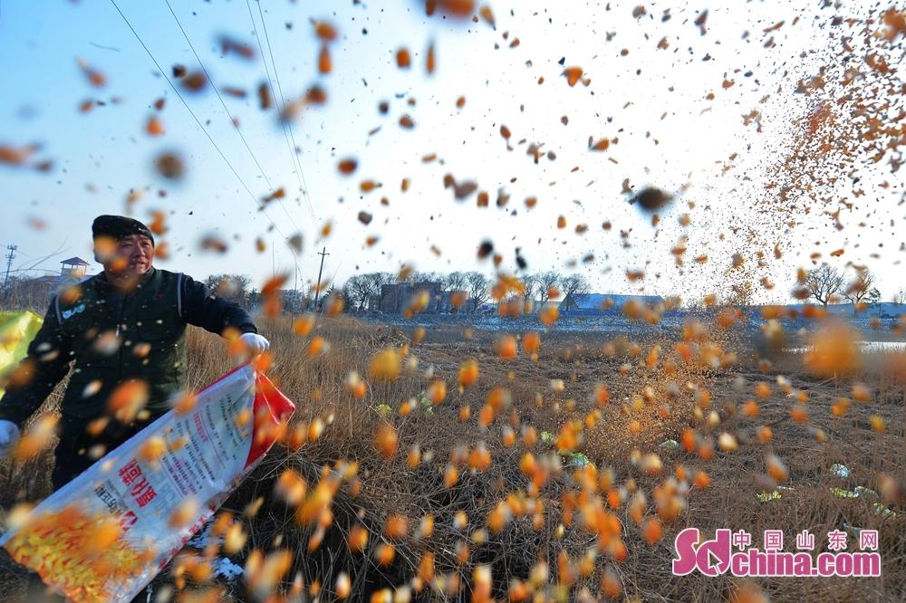<br/>  1月12日,自愿者在青岛市城阳区白沙河入海口湿地为越冬候鸟投食。<br/>