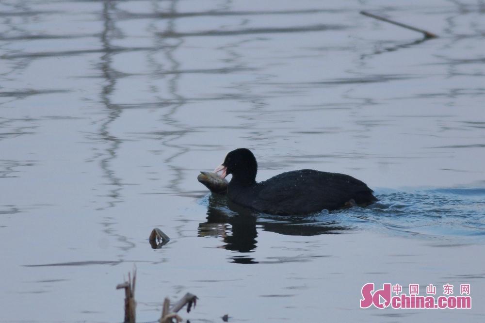 <br/>  1月12日,一只骨顶鸡在青岛市城阳区白沙河入海口湿地&ldquo;享用&rdquo;自愿者投放的鱼类。<br/>