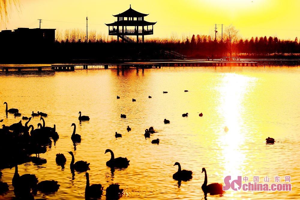 1月1日,成群的天鹅、野鸭游弋在枣庄市台儿庄区双龙湖湿地公园。成群的大天鹅在此嬉戏觅食,悠然越冬,成为冬日湿地里一道靓丽的风景线……双龙湖湿地公园处在京杭大运河,为东西走向的船形岛屿,占地1000余亩,周边邻水,犹如镶嵌在古运河上的一颗璀璨明珠。优越的环境吸引了众多大天鹅栖息越冬。