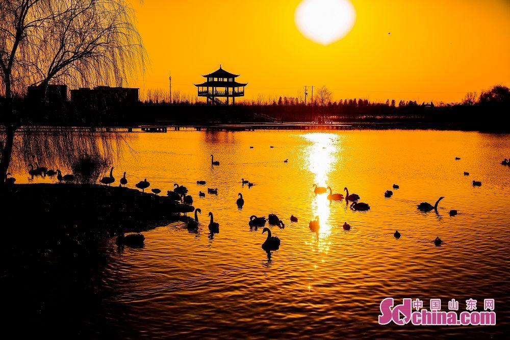 1月1日,成群的天鹅、野鸭游弋在枣庄市台儿庄区双龙湖湿地公园。成群的大天鹅在此嬉戏觅食,悠然越冬,成为冬日湿地里一道靓丽的风景线&hellip;&hellip;双龙湖湿地公园处在京杭大运河,为东西走向的船形岛屿,占地1000余亩,周边邻水,犹如镶嵌在古运河上的一颗璀璨明珠。优越的环境吸引了众多大天鹅栖息越冬。(摄影 张仁玉)<br/>